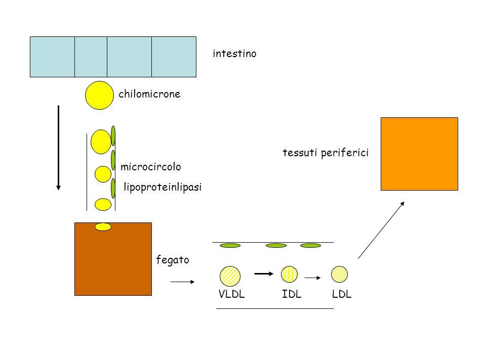 intestino chilomicrone fegato microcircolo lipoproteinlipasi VLDLIDLLDL tessuti periferici