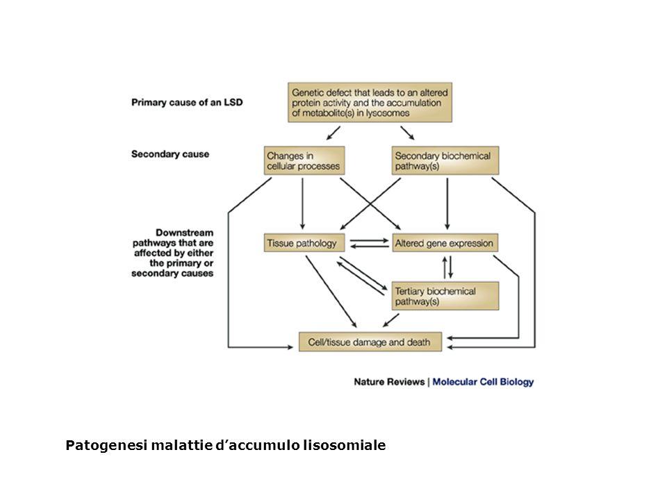 Patogenesi malattie daccumulo lisosomiale