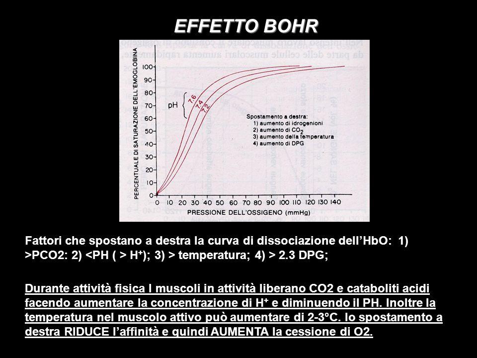 EFFETTO BOHR Fattori che spostano a destra la curva di dissociazione dellHbO: 1) >PCO2: 2) H + ); 3) > temperatura; 4) > 2.3 DPG; Durante attività fis