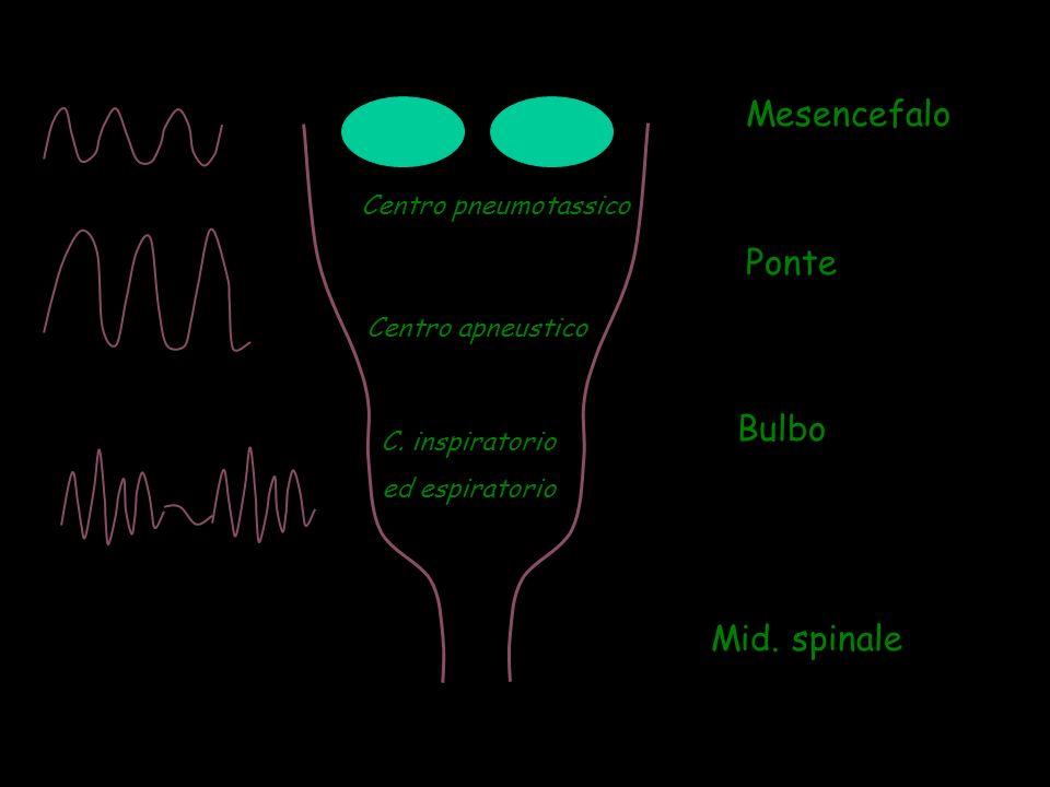 Ponte Bulbo Mid. spinale Mesencefalo Centro pneumotassico Centro apneustico C. inspiratorio ed espiratorio
