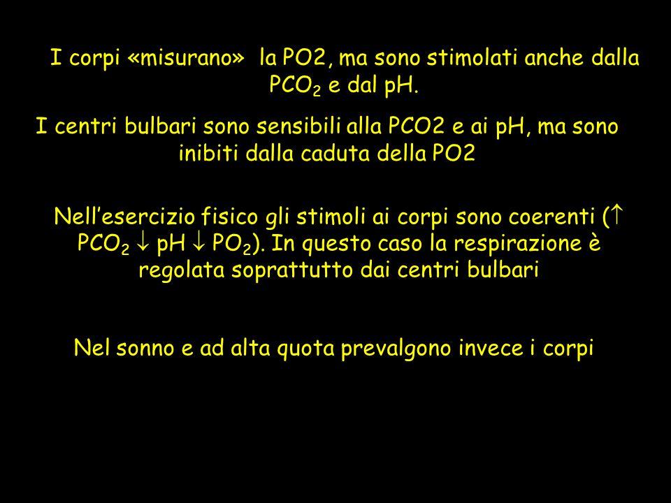 I corpi «misurano» la PO2, ma sono stimolati anche dalla PCO 2 e dal pH. Nellesercizio fisico gli stimoli ai corpi sono coerenti ( PCO 2 pH PO 2 ). In