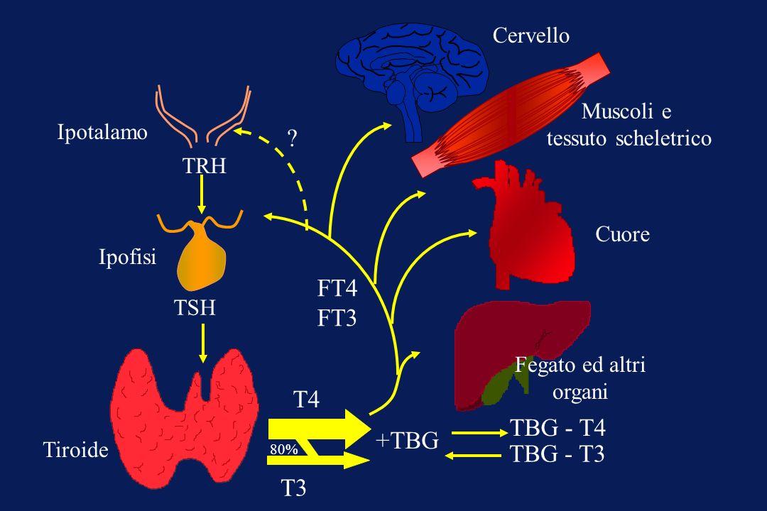 Tiroide Ipofisi Ipotalamo TRH TSH Cervello Muscoli e tessuto scheletrico Cuore Fegato ed altri organi ? FT4 FT3 +TBG TBG - T4 TBG - T3 T4 T3 80%