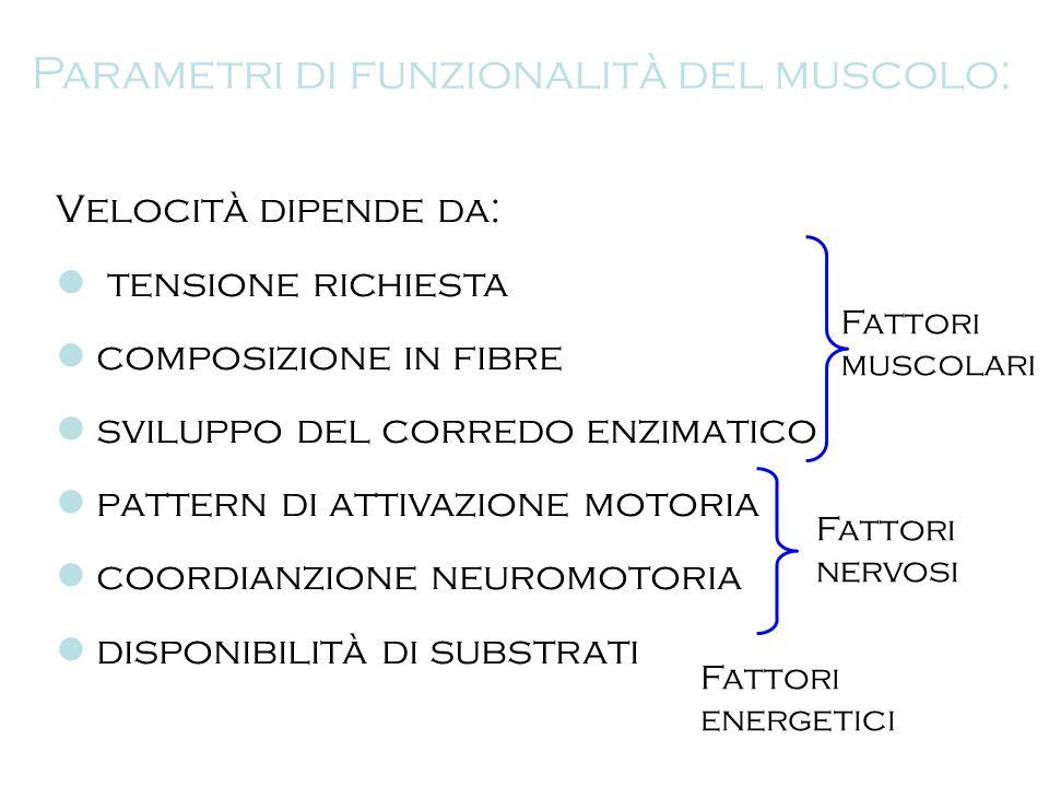 Parametri di funzionalità del muscolo: Velocità dipende da: tensione richiesta composizione in fibre sviluppo del corredo enzimatico pattern di attiva