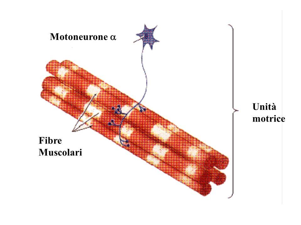 Motoneurone Fibre Muscolari Unità motrice