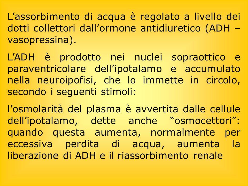 Lassorbimento di acqua è regolato a livello dei dotti collettori dallormone antidiuretico (ADH – vasopressina).