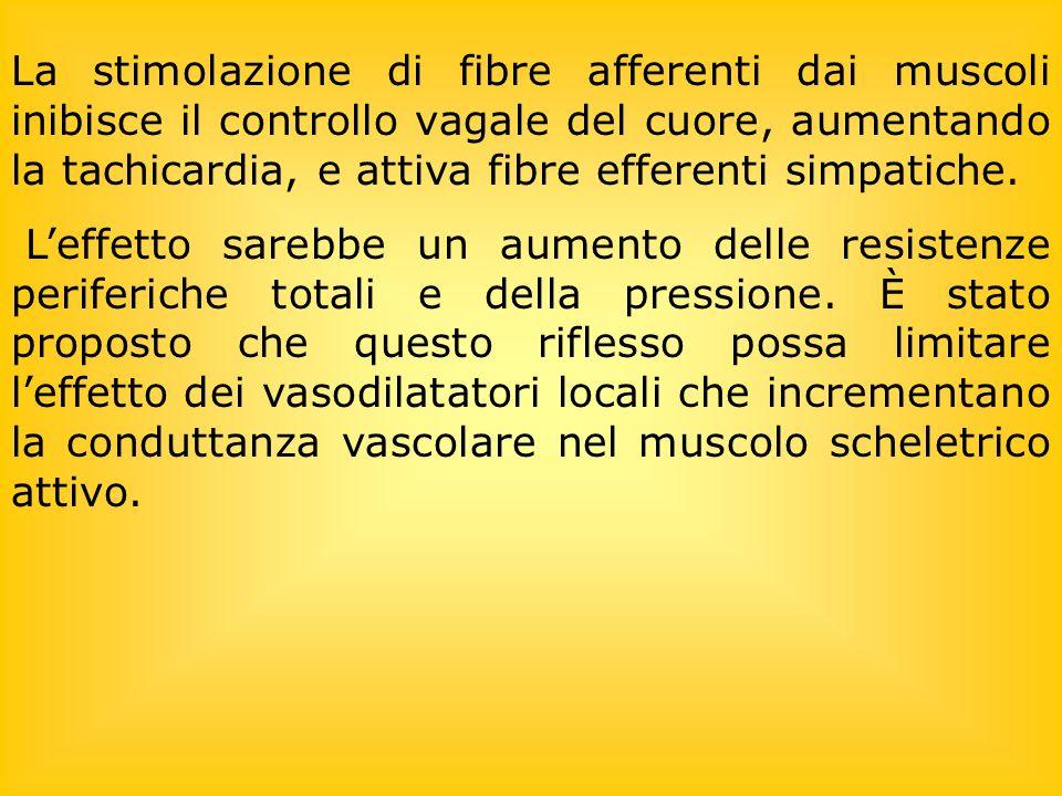 La stimolazione di fibre afferenti dai muscoli inibisce il controllo vagale del cuore, aumentando la tachicardia, e attiva fibre efferenti simpatiche.