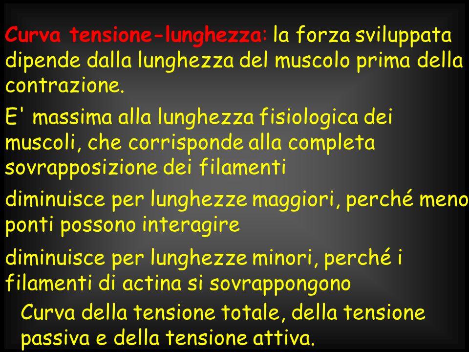 Curva della tensione totale, della tensione passiva e della tensione attiva. Curva tensione-lunghezza: la forza sviluppata dipende dalla lunghezza del