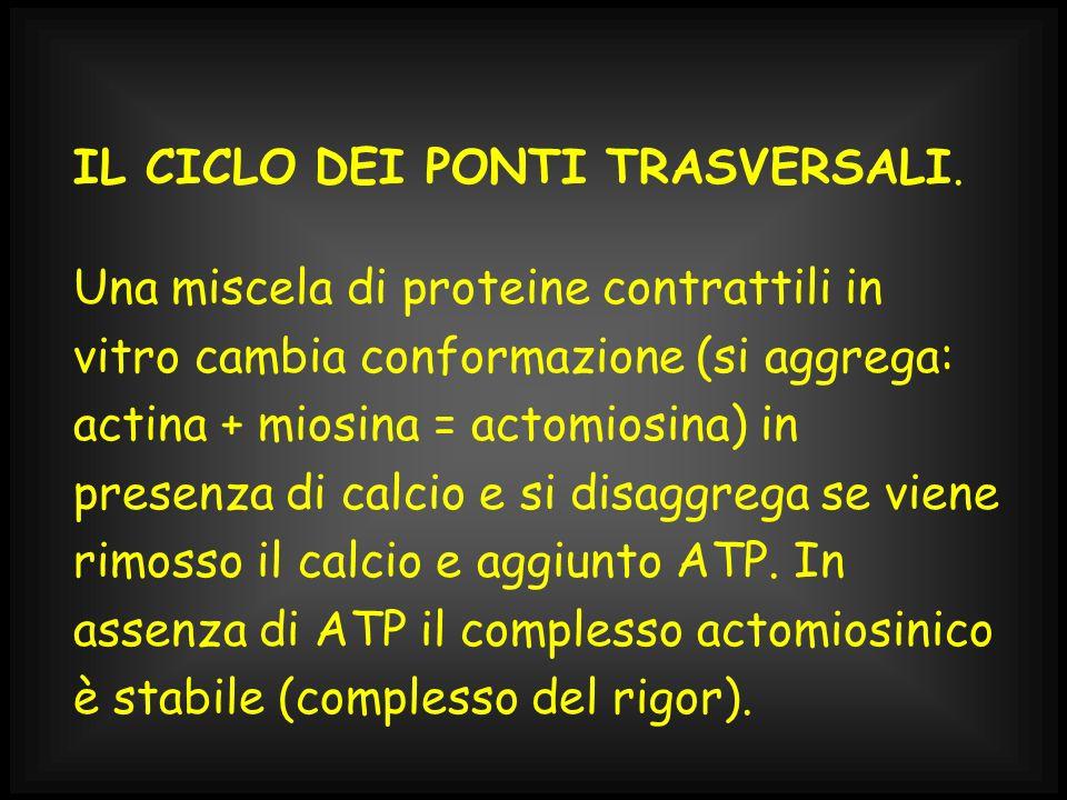 IL CICLO DEI PONTI TRASVERSALI. Una miscela di proteine contrattili in vitro cambia conformazione (si aggrega: actina + miosina = actomiosina) in pres