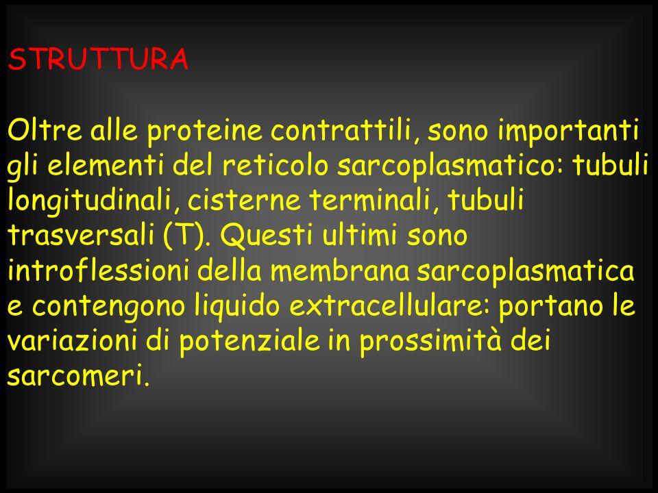 STRUTTURA Oltre alle proteine contrattili, sono importanti gli elementi del reticolo sarcoplasmatico: tubuli longitudinali, cisterne terminali, tubuli