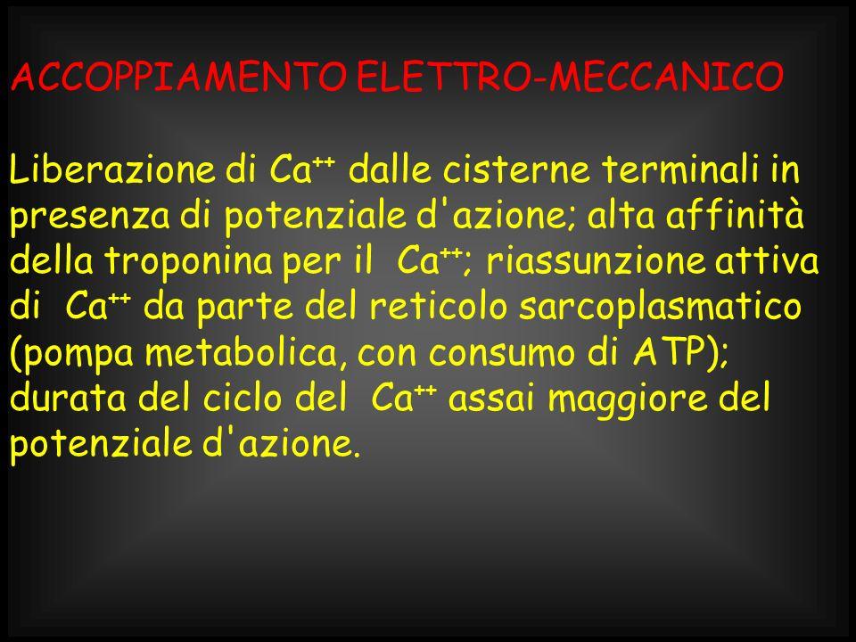 ACCOPPIAMENTO ELETTRO-MECCANICO Liberazione di Ca ++ dalle cisterne terminali in presenza di potenziale d'azione; alta affinità della troponina per il