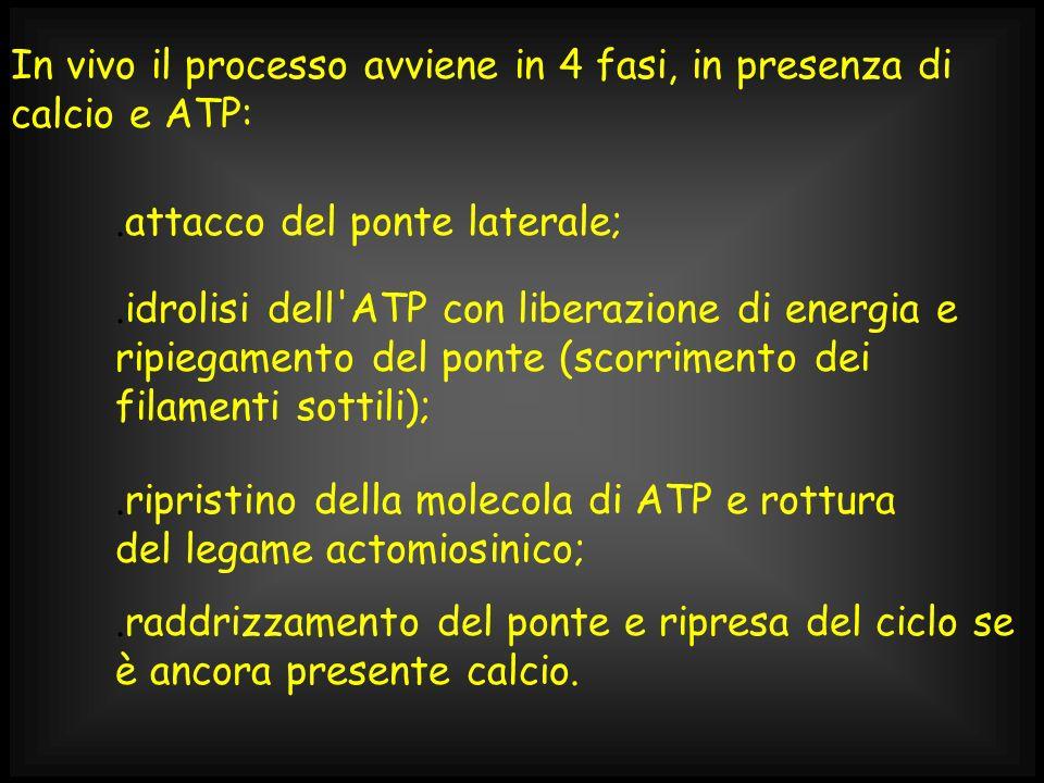 In vivo il processo avviene in 4 fasi, in presenza di calcio e ATP:.raddrizzamento del ponte e ripresa del ciclo se è ancora presente calcio..attacco
