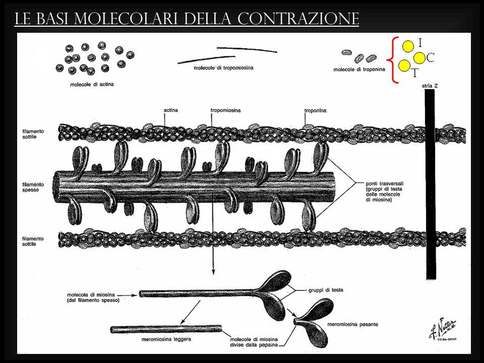 LE BASI MOLECOLARI DELLA CONTRAZIONE i C t