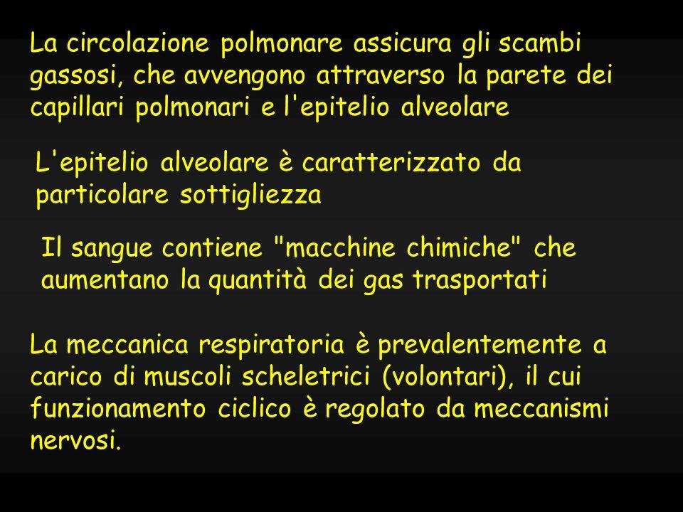 FUNZIONI ACCESSORIE chiusura dei bronchioli in espirazione (ruolo della cartilagine) condizionamento dellaria funzioni di difesa: lapparato mucocigliare fonazione deglutizione movimenti respiratori anomali: tosse e sternuto accelerazione dellaria: effetto meccanico