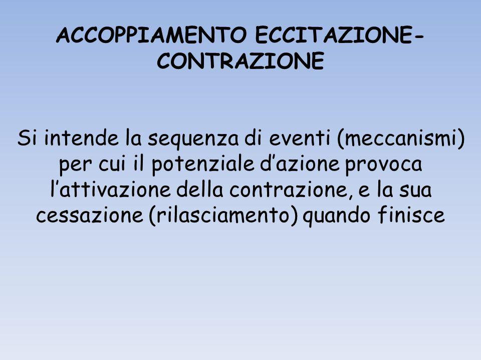 ACCOPPIAMENTO ECCITAZIONE- CONTRAZIONE Si intende la sequenza di eventi (meccanismi) per cui il potenziale dazione provoca lattivazione della contrazione, e la sua cessazione (rilasciamento) quando finisce