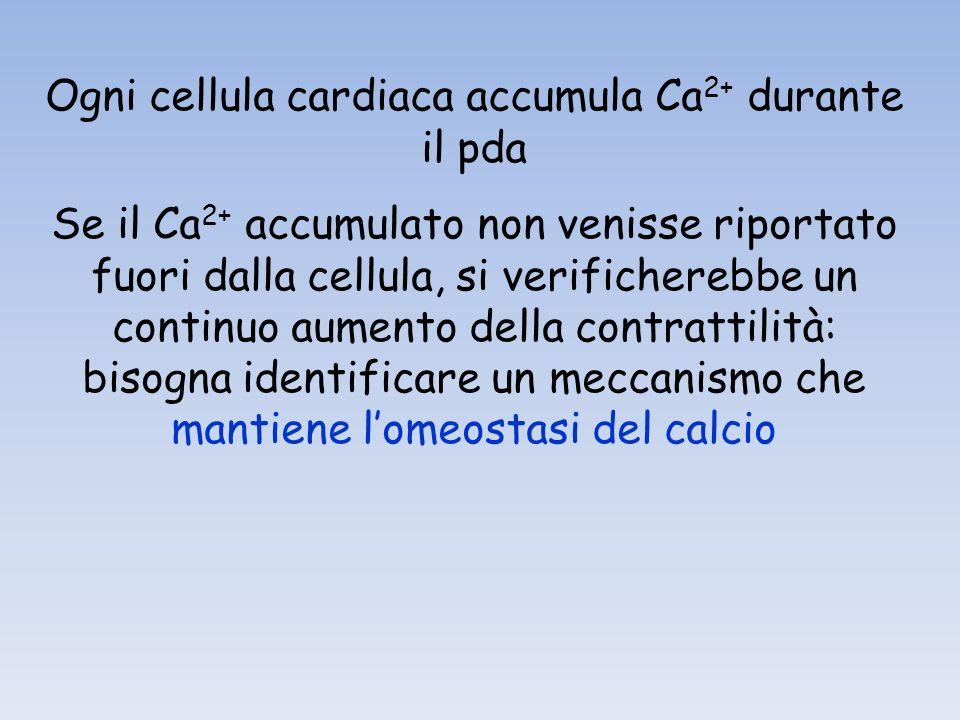 Ogni cellula cardiaca accumula Ca 2+ durante il pda Se il Ca 2+ accumulato non venisse riportato fuori dalla cellula, si verificherebbe un continuo aumento della contrattilità: bisogna identificare un meccanismo che mantiene lomeostasi del calcio
