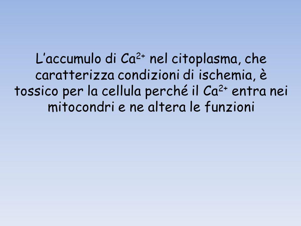 Laccumulo di Ca 2+ nel citoplasma, che caratterizza condizioni di ischemia, è tossico per la cellula perché il Ca 2+ entra nei mitocondri e ne altera