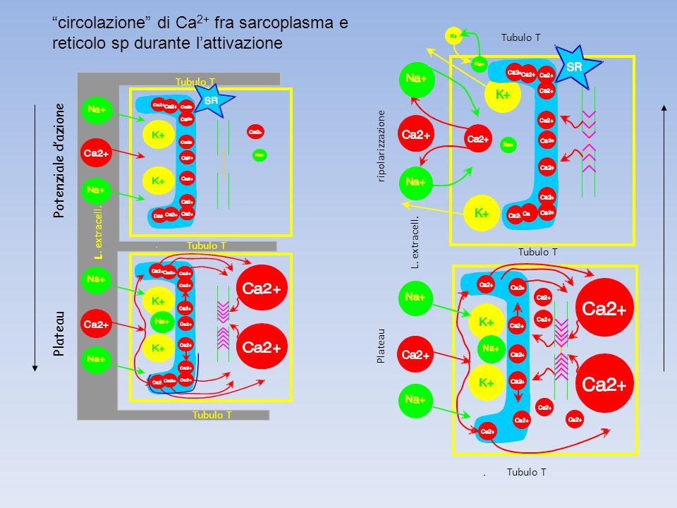 Potenziale dazione Plateau Tubulo T L. extracell. Tubulo T L. extracell. ripolarizzazione Plateau circolazione di Ca 2+ fra sarcoplasma e reticolo sp