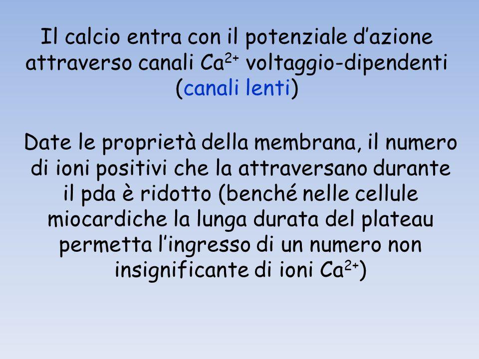 Il calcio entra con il potenziale dazione attraverso canali Ca 2+ voltaggio-dipendenti (canali lenti) Date le proprietà della membrana, il numero di i