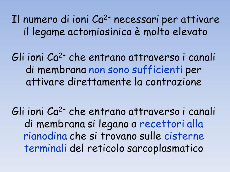 Il numero di ioni Ca 2+ necessari per attivare il legame actomiosinico è molto elevato Gli ioni Ca 2+ che entrano attraverso i canali di membrana non