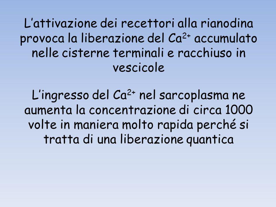 Lattivazione dei recettori alla rianodina provoca la liberazione del Ca 2+ accumulato nelle cisterne terminali e racchiuso in vescicole Lingresso del