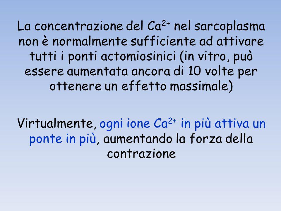La concentrazione del Ca 2+ nel sarcoplasma non è normalmente sufficiente ad attivare tutti i ponti actomiosinici (in vitro, può essere aumentata ancora di 10 volte per ottenere un effetto massimale) Virtualmente, ogni ione Ca 2+ in più attiva un ponte in più, aumentando la forza della contrazione