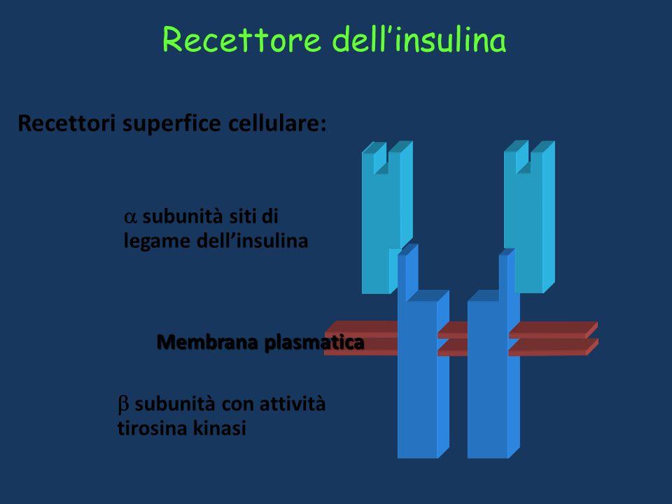 S S S S S S Proinsulina (84 aa) Peptide C (di connessione) Sintesi e struttura dellinsulina Gli ormoni peptidici sono sintetizzati come preproormoni i