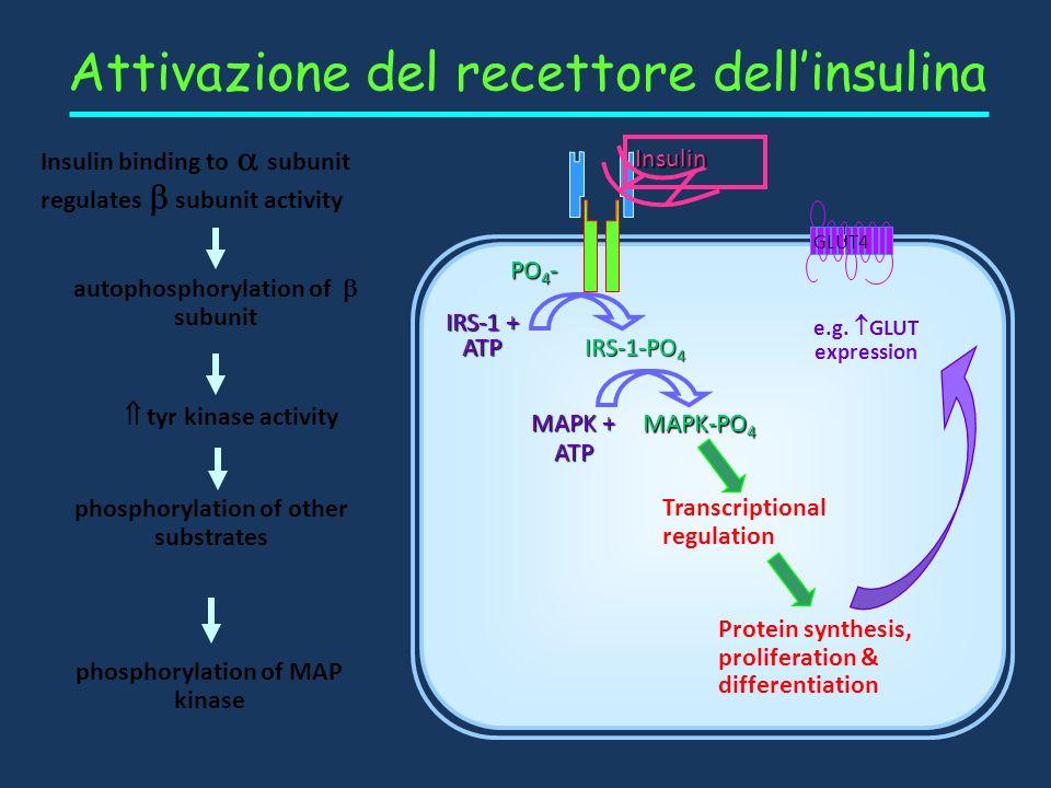 Attivazione del recettore dellinsulina PO 4 - IRS-1 + ATP IRS-1-PO 4 Insulin binding to subunit regulates subunit activity Insulina autophosphorylatio