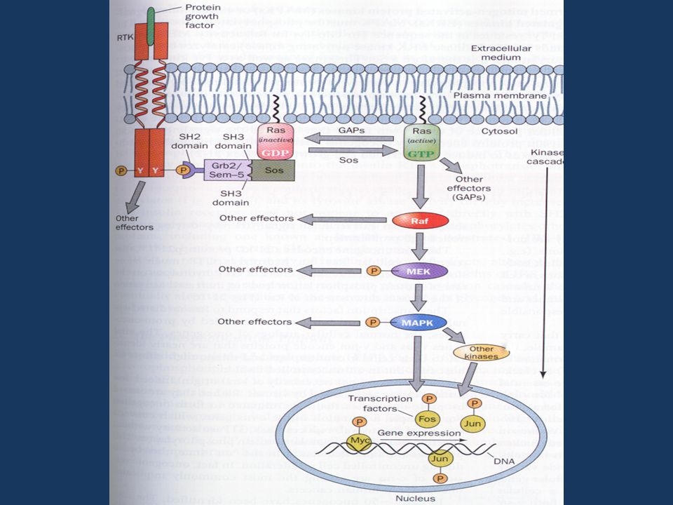 70 80 90 100 BaseDopo Effetto di dosi sovrafisiologiche di GH per 4 settimane (0.03 o 0.06 mg/kg die) su morfologia e funzione cardiaca e sulle resistenze vascolari 2000 2250 2500 2750 3000 BaseDopo 1000 1250 1500 1750 2000 BaseDopo Cittadini et al, JCEM 2002 Indice massa ventr.sx (g/m 2 ) Indice cardiaco (ml/min·m 2 ) Resistenze vascolari periferiche (dyn sec· cm -5 ) GH very highGH highplacebo * * *