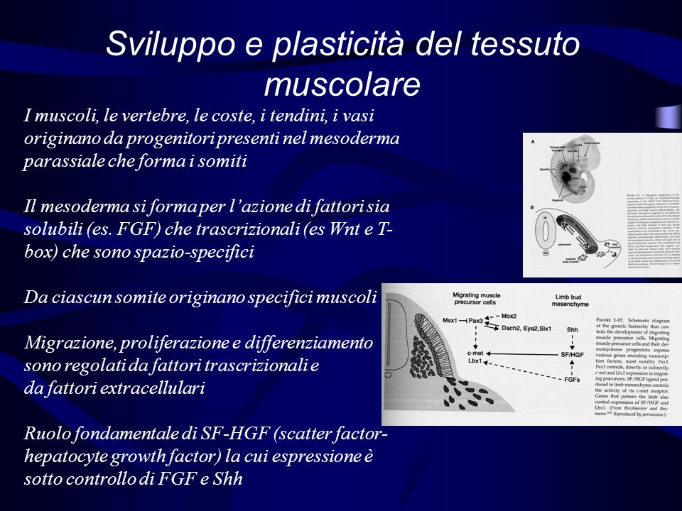 Muscle Regulatory Factors Gli MRF sono fattori trascrizionali MyoD: Una volta attivo rimane autoregolato (permanente) Myf5: precoce e transitorio (regolazione diversa in varie parti, vedi figura) Myogenin: tardivo, importante durante il differenziamento MRF4: tardivo, importante durante il differenziamento