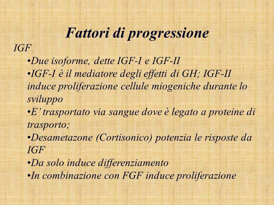 Fattori di progressione IGF Due isoforme, dette IGF-I e IGF-II IGF-I è il mediatore degli effetti di GH; IGF-II induce proliferazione cellule miogenic
