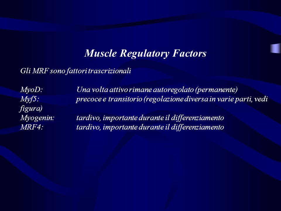 Muscle Regulatory Factors Gli MRF sono fattori trascrizionali MyoD: Una volta attivo rimane autoregolato (permanente) Myf5: precoce e transitorio (reg