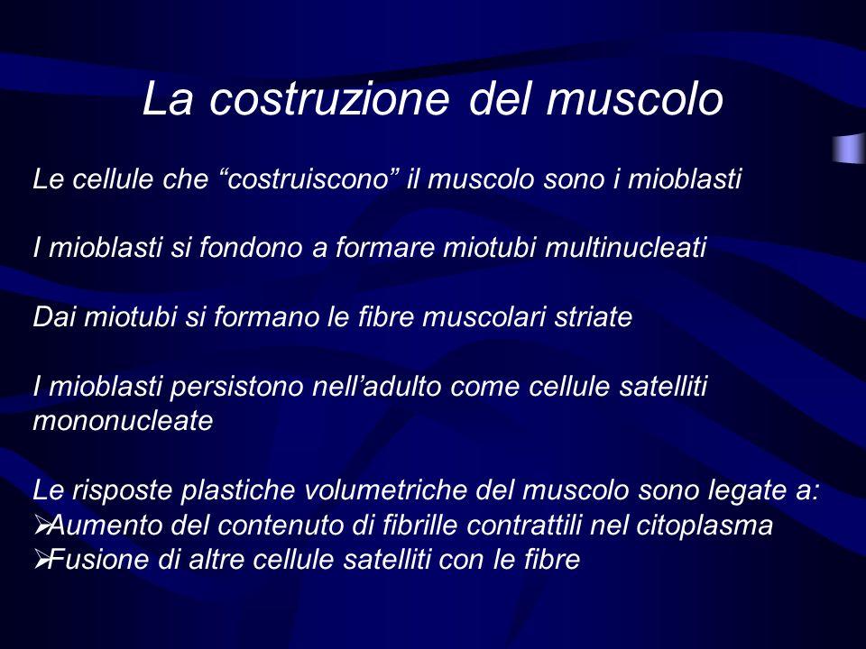 La costruzione del muscolo Le cellule che costruiscono il muscolo sono i mioblasti I mioblasti si fondono a formare miotubi multinucleati Dai miotubi