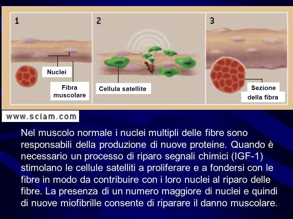Nel muscolo normale i nuclei multipli delle fibre sono responsabili della produzione di nuove proteine. Quando è necessario un processo di riparo segn