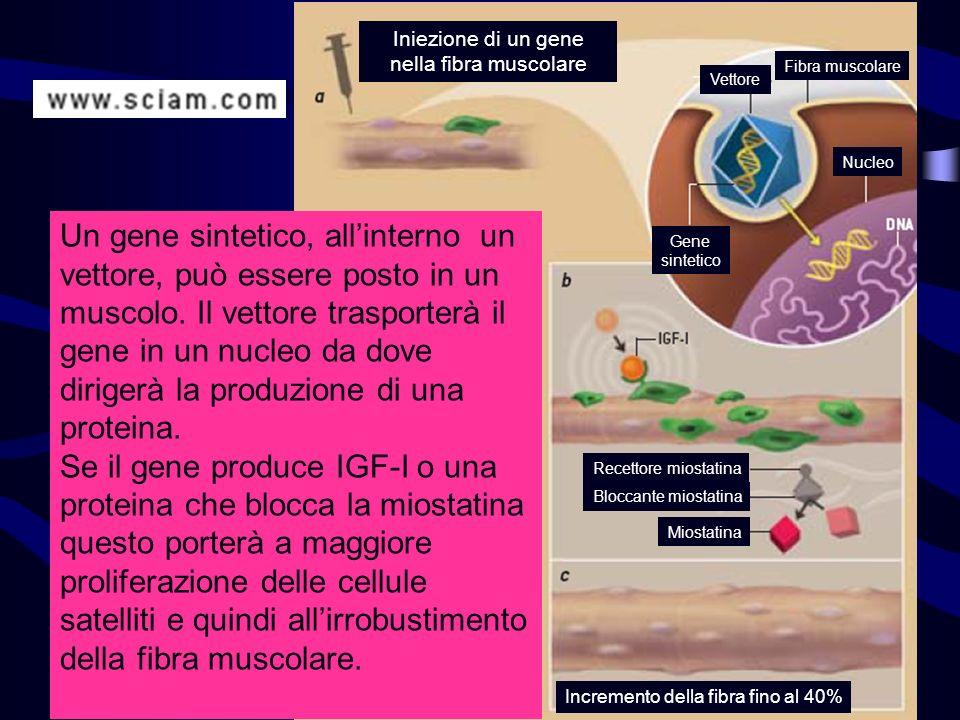 Iniezione di un gene nella fibra muscolare Vettore Fibra muscolare Gene sintetico Nucleo Recettore miostatina Bloccante miostatina Miostatina Incremen