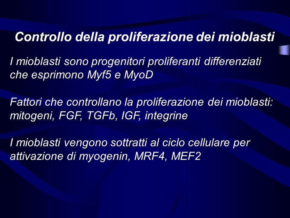 Controllo della proliferazione dei mioblasti I mioblasti sono progenitori proliferanti differenziati che esprimono Myf5 e MyoD Fattori che controllano