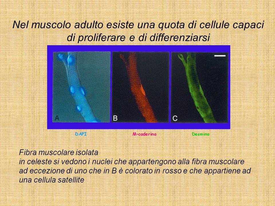Fibra muscolare isolata in celeste si vedono i nuclei che appartengono alla fibra muscolare ad eccezione di uno che in B è colorato in rosso e che app