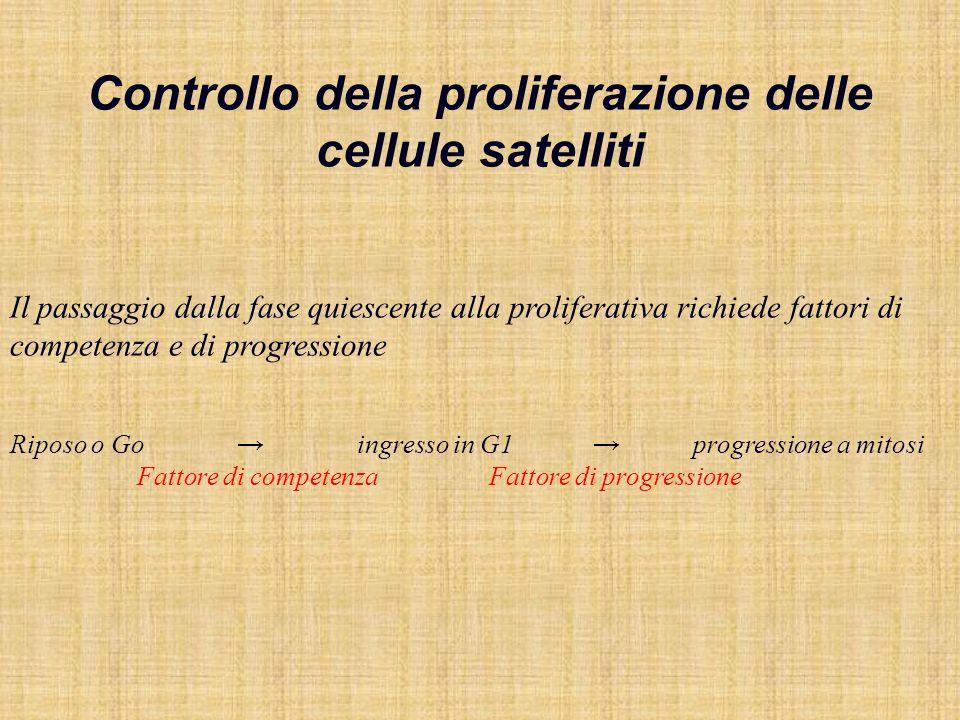 Fattori di competenza FGF legato a proteoglicani della lamina basale, rilasciato dopo lesioni Lespressione aumenta dopo lesione, in ipertrofia Agisce su cellule satelliti, ma anche su innervazione, vascolarizzazione, fibroplasia