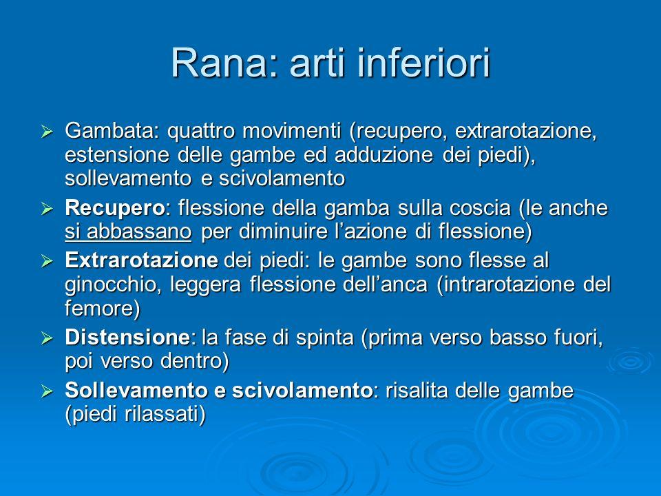 Rana: arti inferiori Gambata: quattro movimenti (recupero, extrarotazione, estensione delle gambe ed adduzione dei piedi), sollevamento e scivolamento