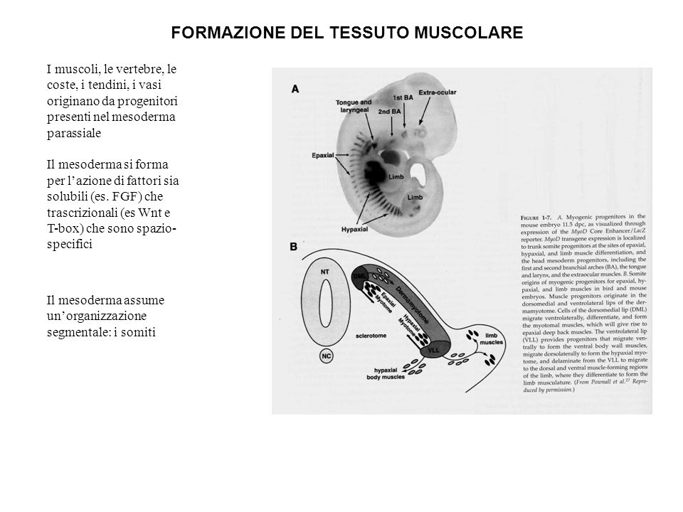 I muscoli, le vertebre, le coste, i tendini, i vasi originano da progenitori presenti nel mesoderma parassiale Il mesoderma si forma per lazione di fa
