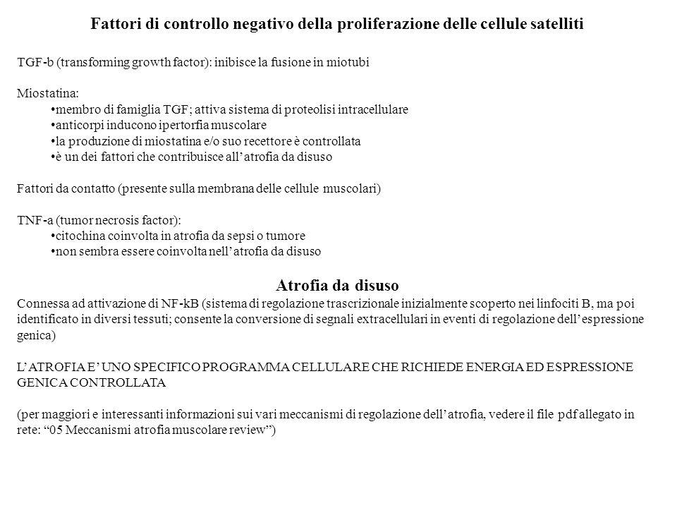 Fattori di controllo negativo della proliferazione delle cellule satelliti TGF-b (transforming growth factor): inibisce la fusione in miotubi Miostati