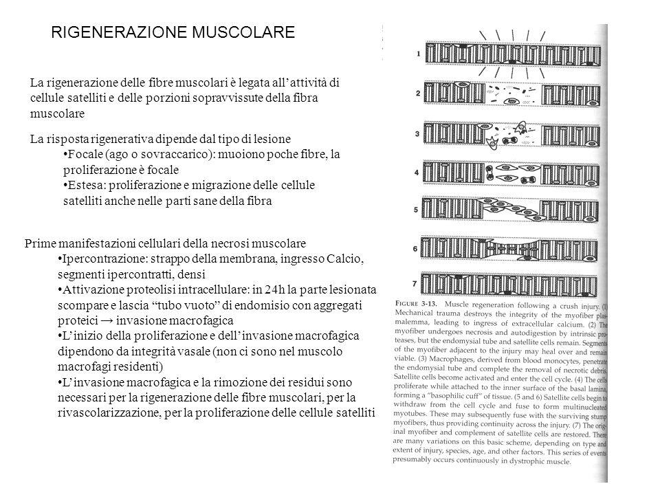 RIGENERAZIONE MUSCOLARE La rigenerazione delle fibre muscolari è legata allattività di cellule satelliti e delle porzioni sopravvissute della fibra mu