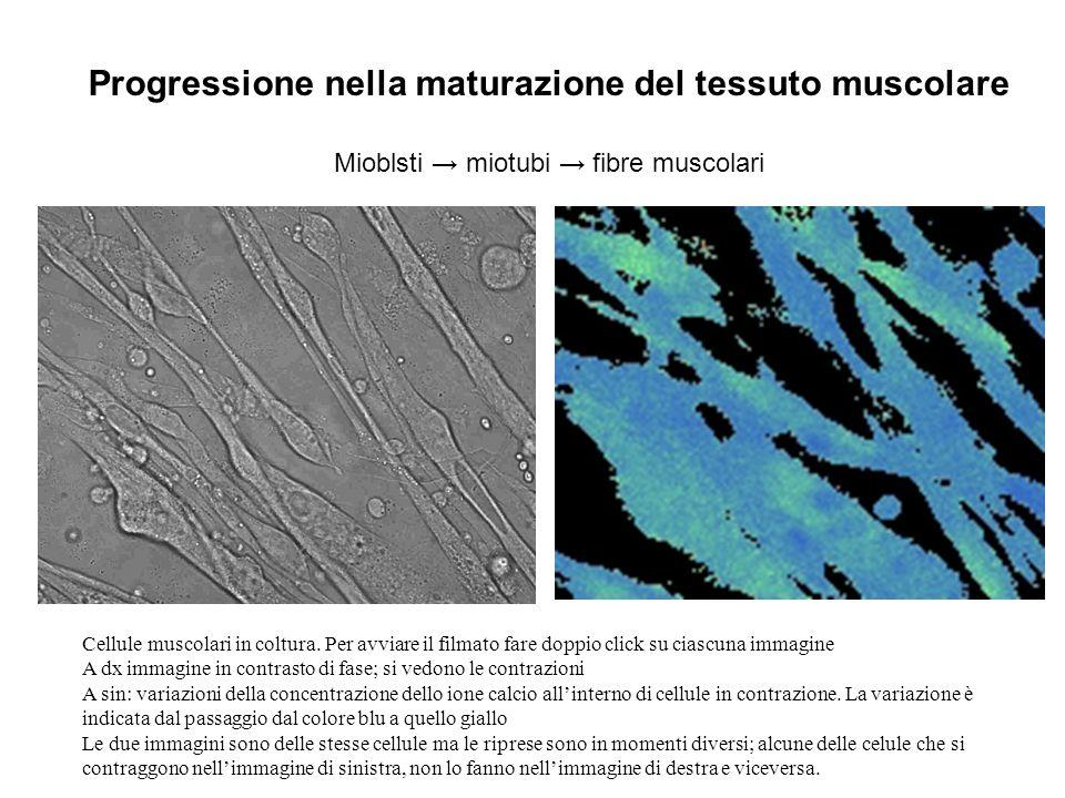 Progressione nella maturazione del tessuto muscolare Mioblsti miotubi fibre muscolari Cellule muscolari in coltura. Per avviare il filmato fare doppio