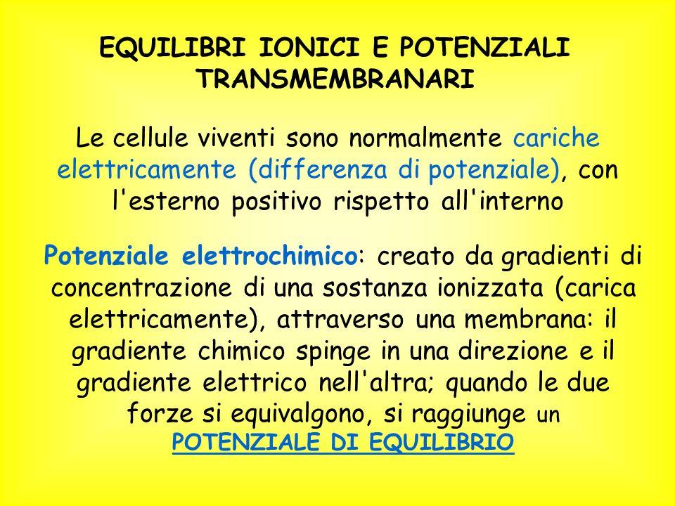 EQUILIBRI IONICI E POTENZIALI TRANSMEMBRANARI Le cellule viventi sono normalmente cariche elettricamente (differenza di potenziale), con l esterno positivo rispetto all interno Potenziale elettrochimico: creato da gradienti di concentrazione di una sostanza ionizzata (carica elettricamente), attraverso una membrana: il gradiente chimico spinge in una direzione e il gradiente elettrico nell altra; quando le due forze si equivalgono, si raggiunge un POTENZIALE DI EQUILIBRIO