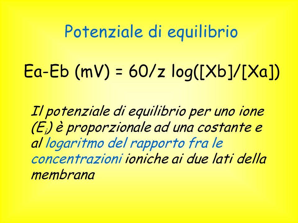 Potenziale di equilibrio Ea-Eb (mV) = 60/z log([Xb]/[Xa]) Il potenziale di equilibrio per uno ione (E i ) è proporzionale ad una costante e al logaritmo del rapporto fra le concentrazioni ioniche ai due lati della membrana
