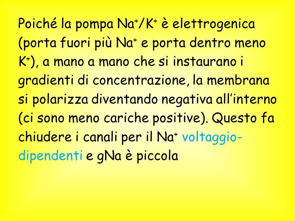 Poiché la pompa Na + /K + è elettrogenica (porta fuori più Na + e porta dentro meno K + ), a mano a mano che si instaurano i gradienti di concentrazione, la membrana si polarizza diventando negativa allinterno (ci sono meno cariche positive).