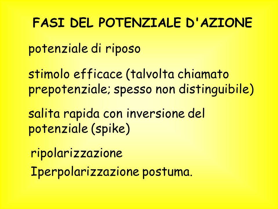 FASI DEL POTENZIALE D AZIONE potenziale di riposo stimolo efficace (talvolta chiamato prepotenziale; spesso non distinguibile) salita rapida con inversione del potenziale (spike) ripolarizzazione Iperpolarizzazione postuma.