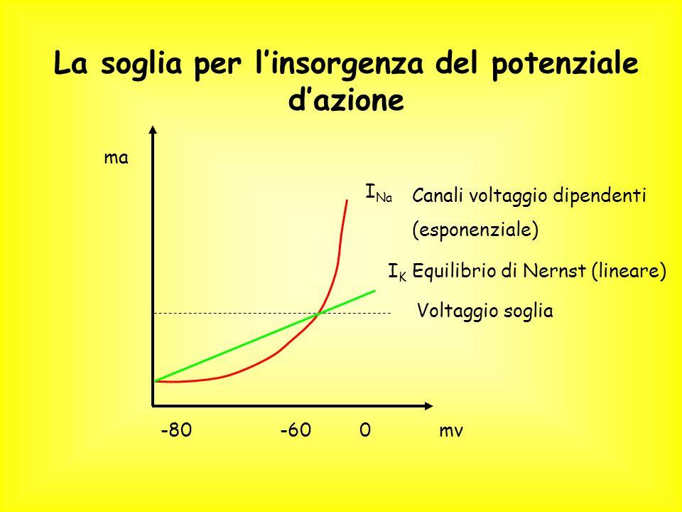 Voltaggio soglia 0-60-80mv ma La soglia per linsorgenza del potenziale dazione I Na Canali voltaggio dipendenti (esponenziale) IKIK Equilibrio di Nernst (lineare)