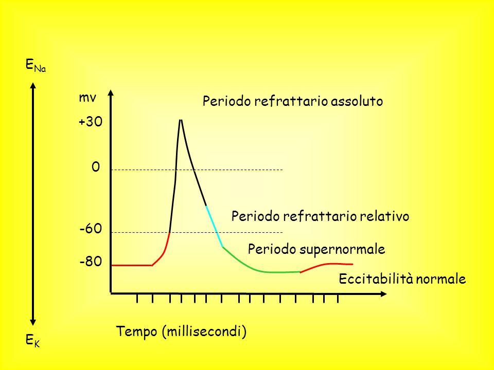 Periodo refrattario assoluto Periodo refrattario relativo Periodo supernormale EKEK 0 -60 -80 +30 mv Tempo (millisecondi) E Na Eccitabilità normale