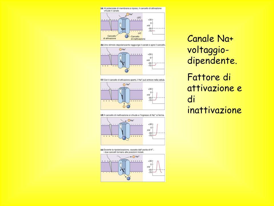 Canale Na+ voltaggio- dipendente. Fattore di attivazione e di inattivazione