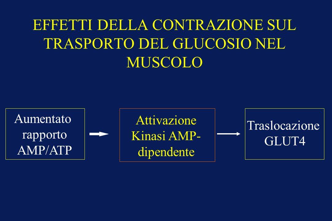 EFFETTI DELLA CONTRAZIONE SUL TRASPORTO DEL GLUCOSIO NEL MUSCOLO Aumentato rapporto AMP/ATP Attivazione Kinasi AMP- dipendente Traslocazione GLUT4